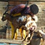 Tiligolo montre le lait de chèvre