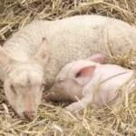 Le cochon et l'agneau