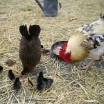 La poule, le coq et les poussins