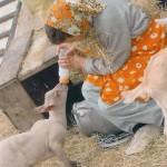 Un biberon pour l'agneau