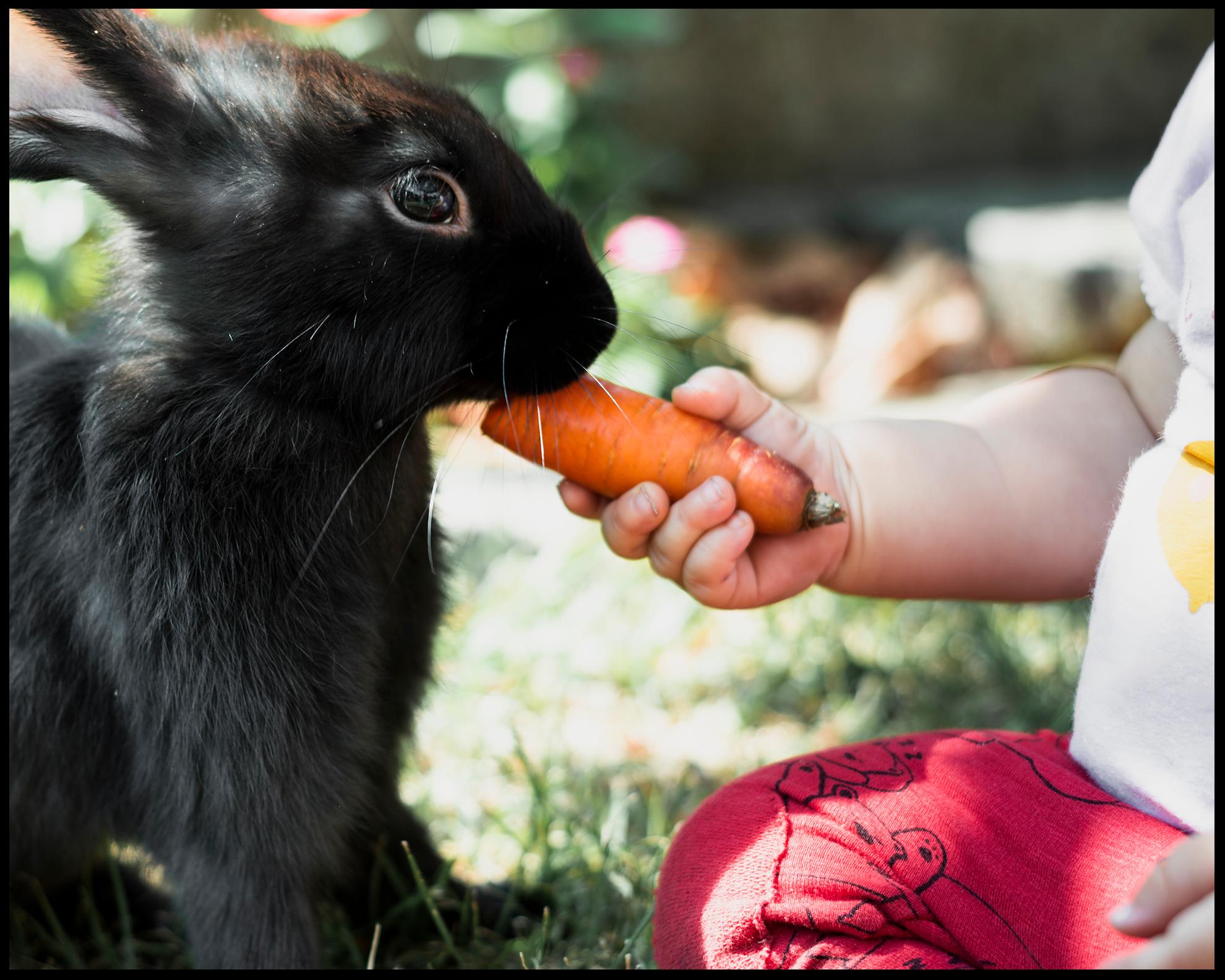 Un jeune enfant donne une carotte a un lapin