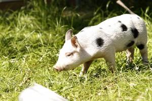 Le ptit cochon