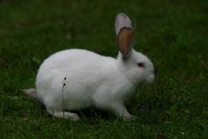le lapin coquin