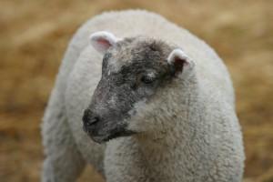 l'agneau tout doux