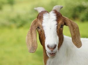 La chèvre Madame Chaussette