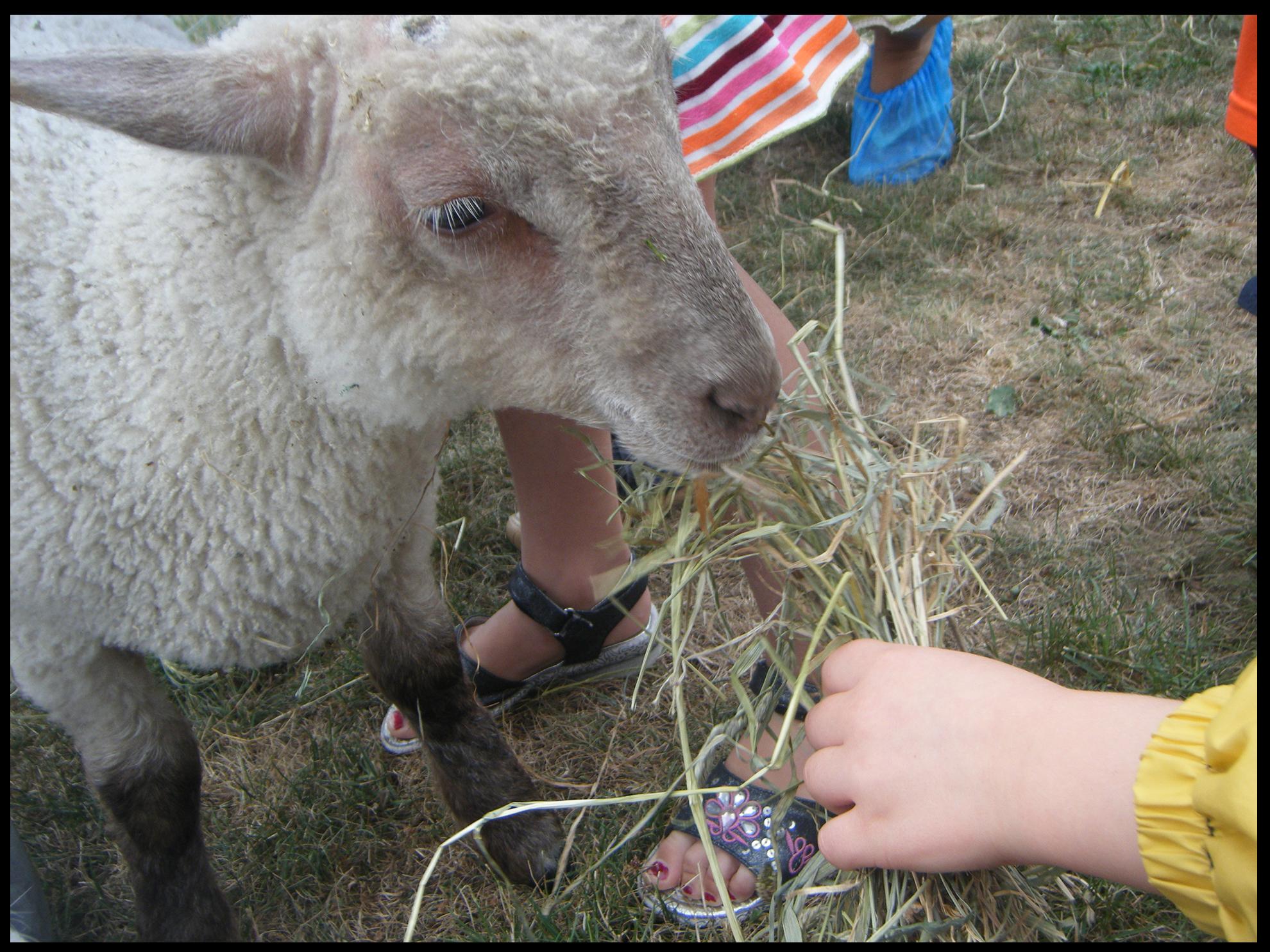 Un jeune enfant nourrit un agneau