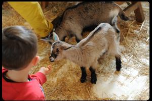 Un jeune garcon nourrit le chevreau